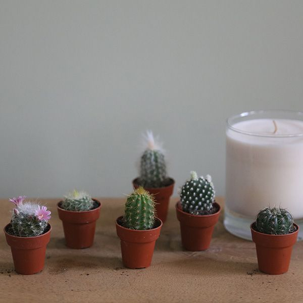 Buy cactus collection Cactus collection: Delivery by Crocus