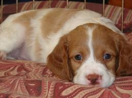 Brittany Spaniel. Oh! That face!