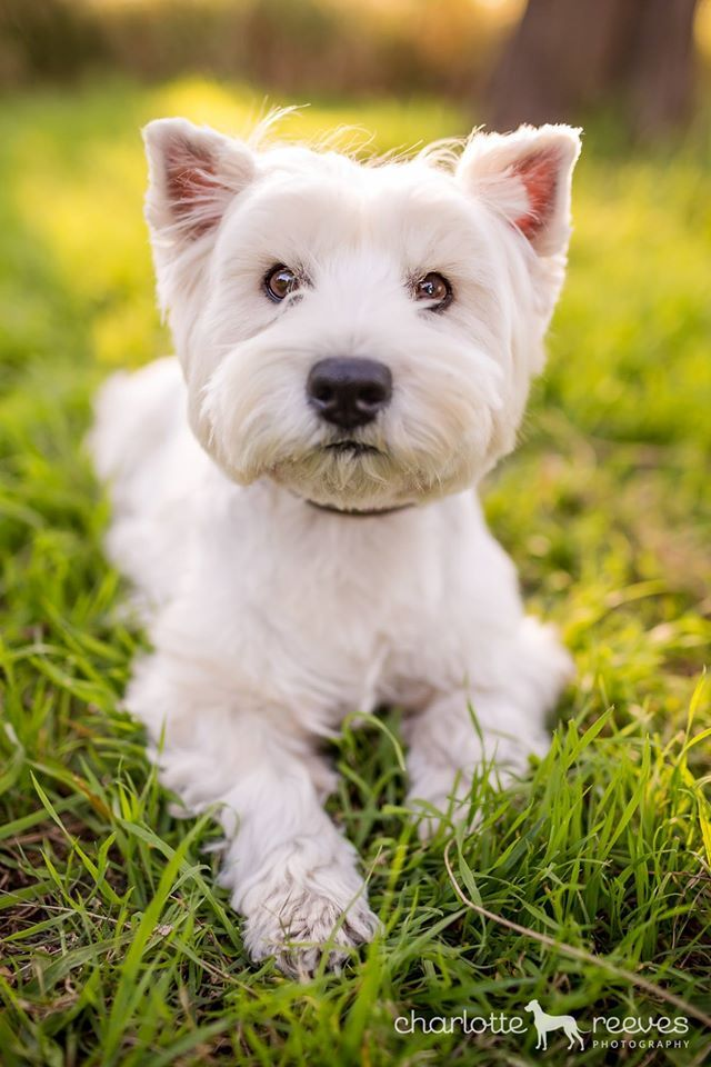 "Pepper turned on a bunch of different ""looks"" for me over the course of the afternoon. This is her sideways-ears look. www.facebook.com/pepperthewestie"