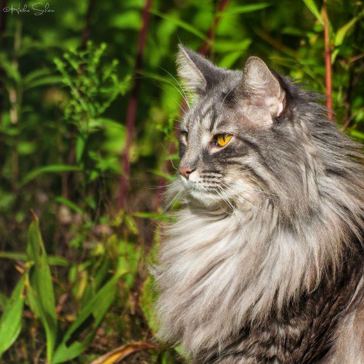 27 Norwegian Forest Cats   Legendary Warriors