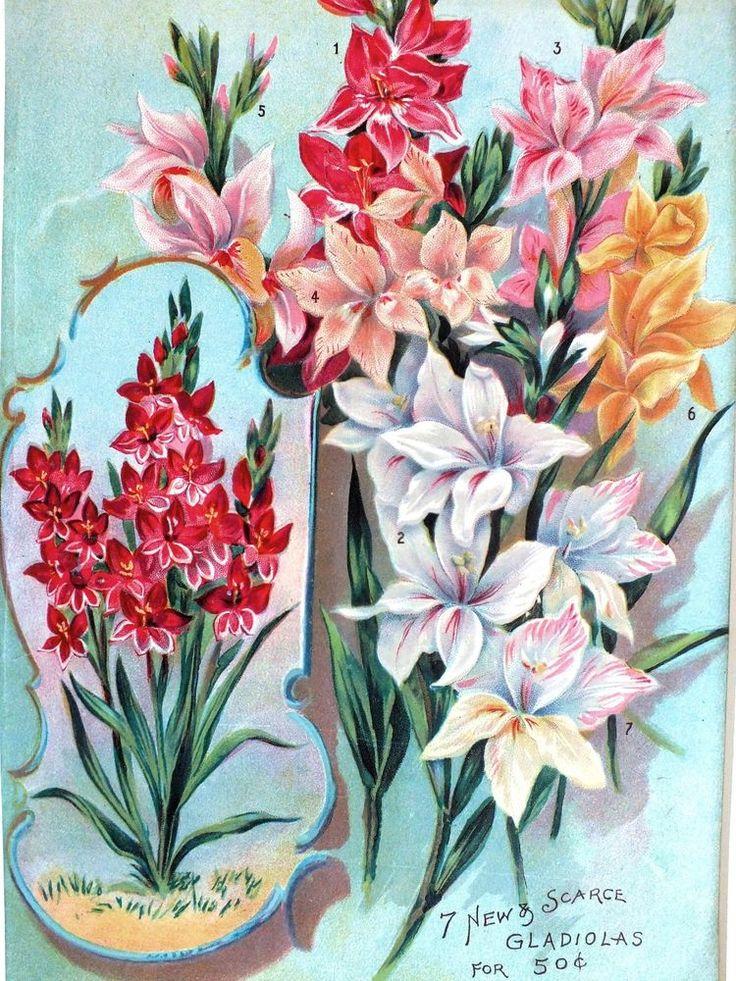 Framed*Original 1895*Victorian*Gladiola Bulb/Seed Catalog*Pink*Red*Flowers*Rare