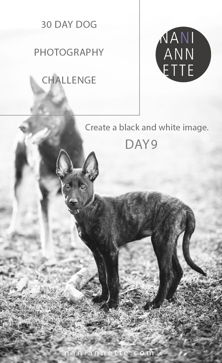 Day 9 of 30 Day Dog Photography Challenge  Create a black and white image.  Join the fun in Instagram and use #30daydogchallenge.