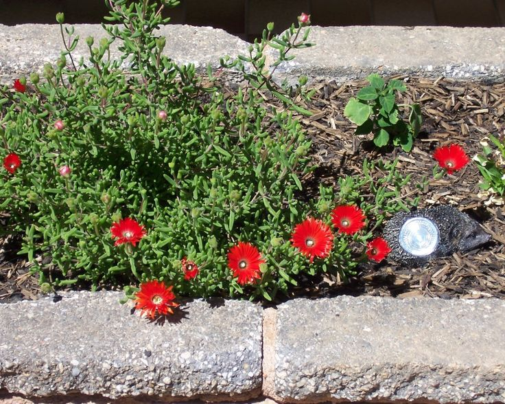 My Dad's Pigface Plants! - Persona Paper