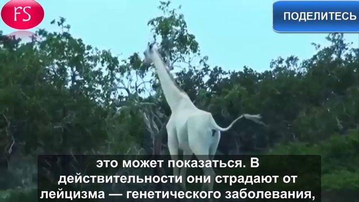 Белые жирафы впервые сняты на видео- https://youtu.be/AUIvjZTUL8s #Видео_Планеты