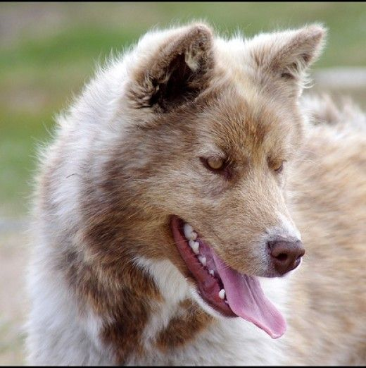 The Canadian Eskimo dog, another sled dog that looks like a wolf.