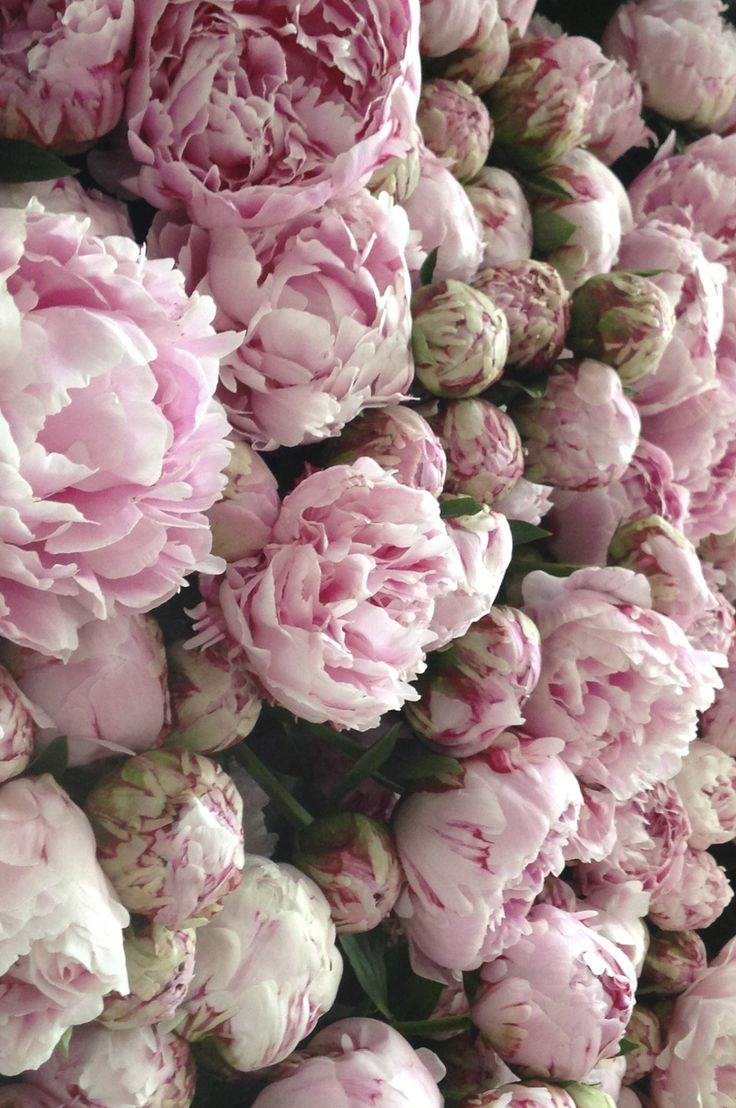 The Pink Peonies Best 25 Peonies Ideas On Pinterest  Peony Peony Flower And Pink