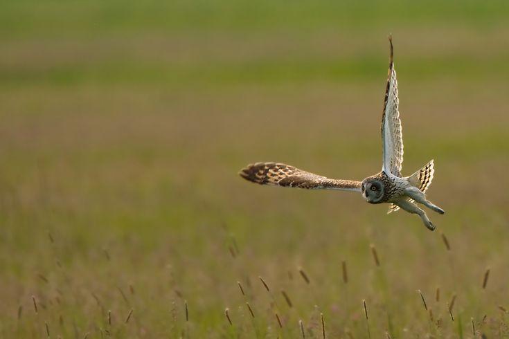 Jagdflug der Sumpfohreule
