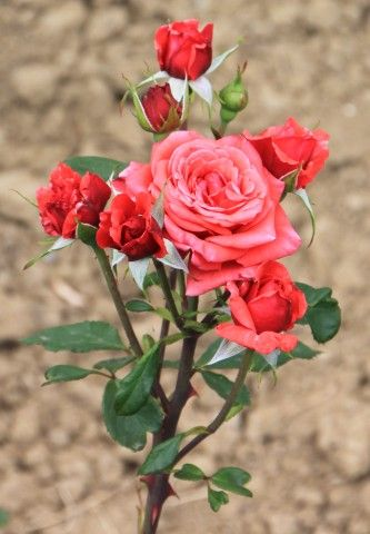Different Colors of Roses, Red