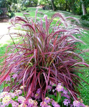 Pennisetum setaceum 'Fireworks' (variegated purple fountain grass)