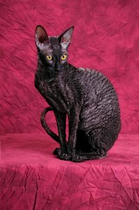 The Cornish Rex has a very distinctive curly coat and they are known as the clowns of the cat world.