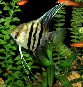 My favorite aquarium fish, the Anglefish.