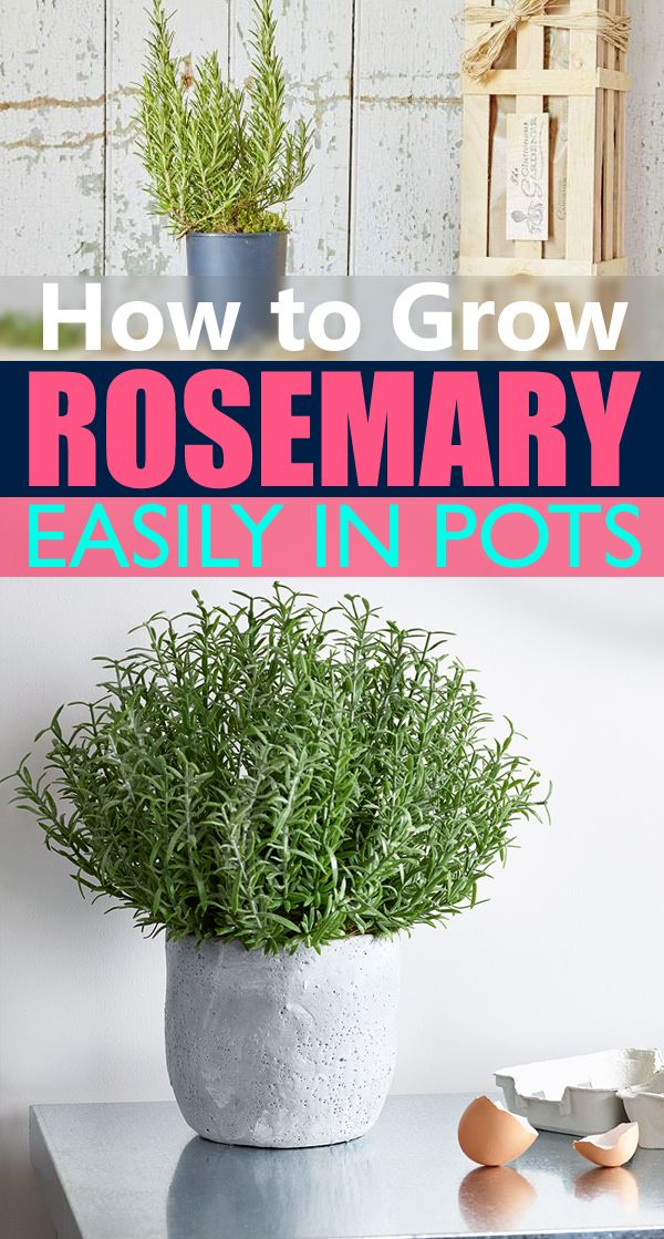 How To Grow Rosemary Easily In Small Space Growing Rosemary Indoors Growing Rosemary Rosemary Plant