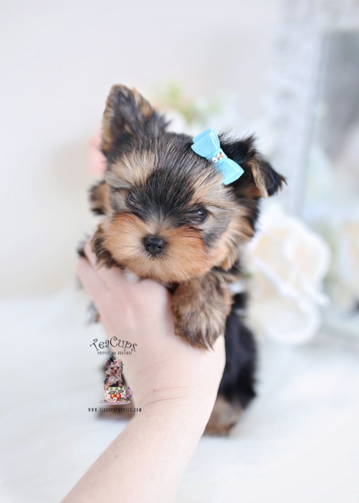 Tiny Yorkie Puppy For Sale Teacup Puppies 038 Yorkie Puppy
