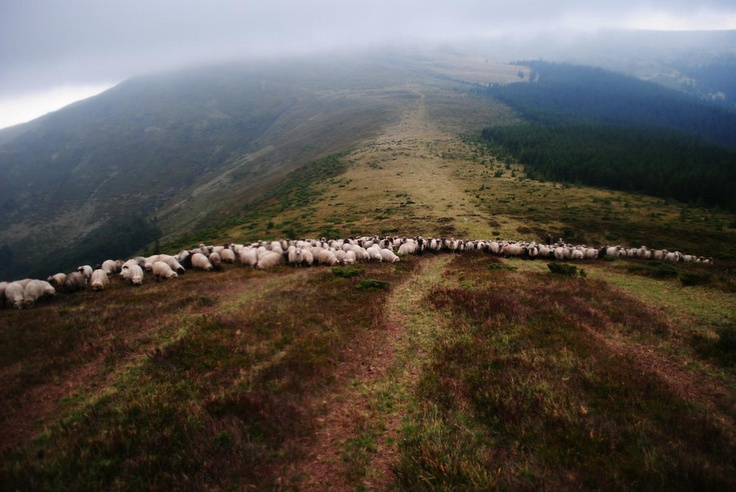 sheep attack, Romania