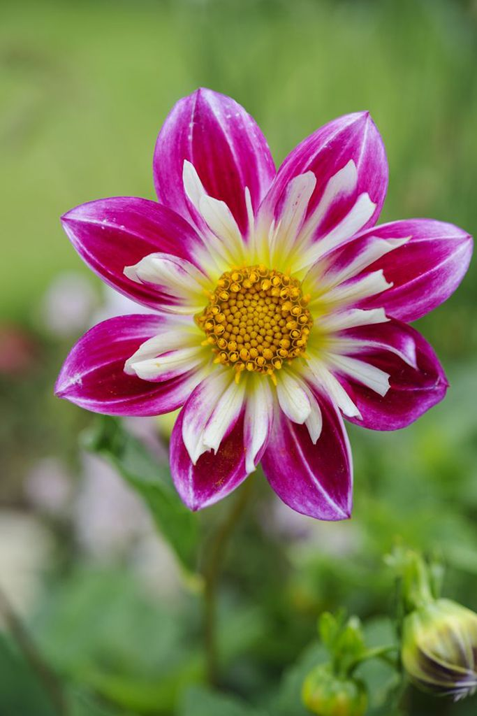 Dahlia 'Yankee Doodle Dandy'. A smaller, single flower which doesn't need staking. Photo by Jason Ingram.