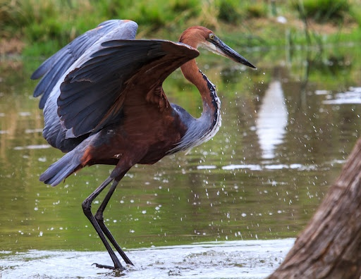 Goliath Heron by Nobby Clarke -  Click on the image to enlarge.