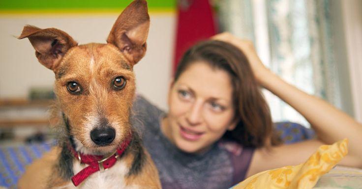 Cera marrón en los perros. Las orejas sanas son sinónimo de un perro saludable. Naturalmente, los perros deberían tener cera en sus oídos como los humanos, pero a veces, la cera y el olor pueden ser indicación de problemas. Por lo general, los perros con orejas caídas, como los labradores, spaniels y beagles tienen mayor problema con la cera, la que puede derivar en ...