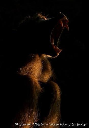 Early morning baboon yawn on #safari in #Kruger