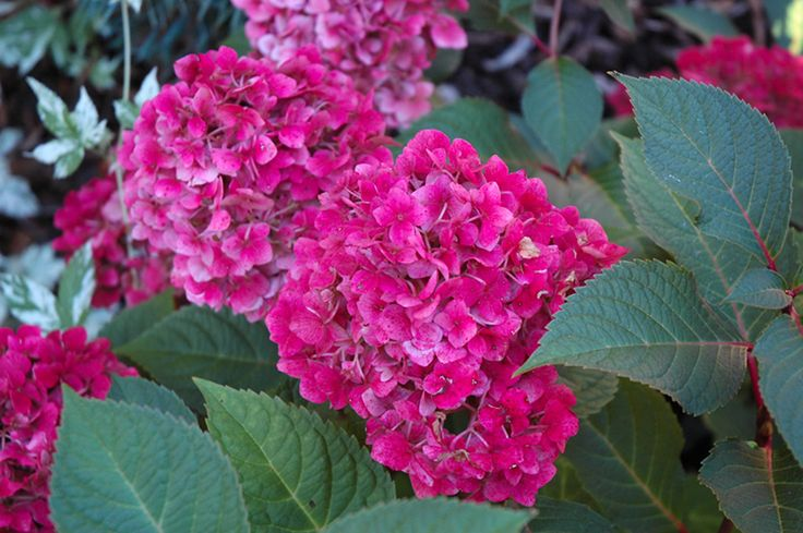 Bloomstruck Hydrangea (Hydrangea macrophylla 'P11HM-11') at Bachman's…
