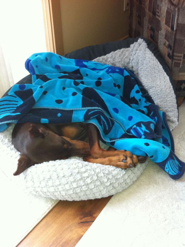 Dobermans love to be covered!