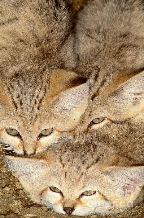 Sand Cats (Felis margarita), indigenous from the Sahara to Pakistan.