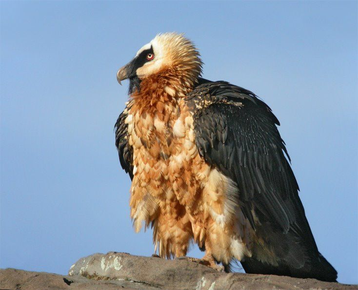 ossifrage bird photos | ... : the eagle, and the ossifrage, and the osprey, (Leviticus 11:13 KJV
