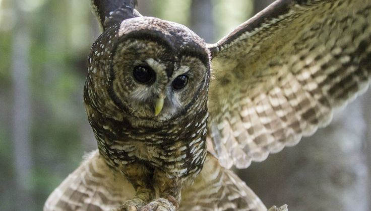 Canada's population of northern spotted owls is down to only 16! Read about the situation, and human efforts to increase their numbers: http://www.pawmanefin.com/Can_We_Save_Canadas_Northern_Spotted_Owl