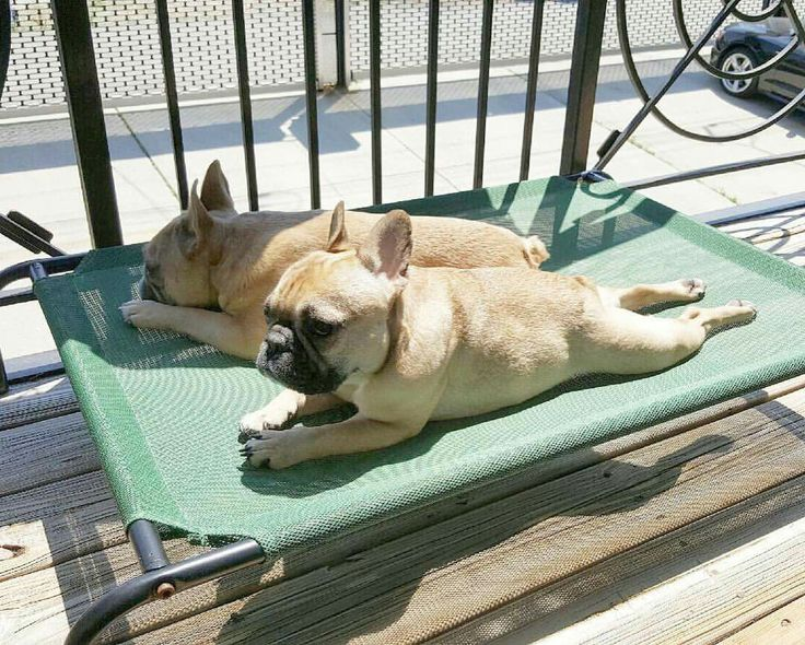 Sunbathing French Bulldogs