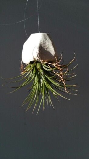 Airplant * ancient premium plant - online available