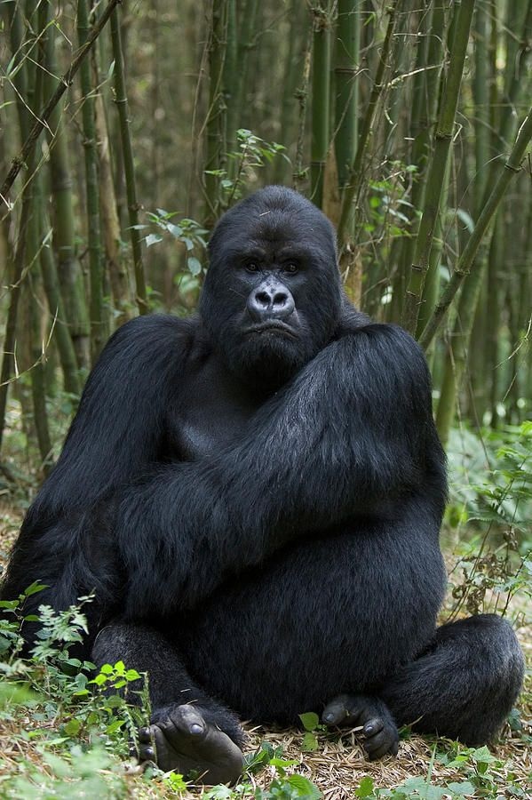 Mountain gorilla- makes you wonder what God was thinking when he put this creature together....the serious monkey ha ha.  so much power yet so much gentleness.;-)..... just like Jehovah