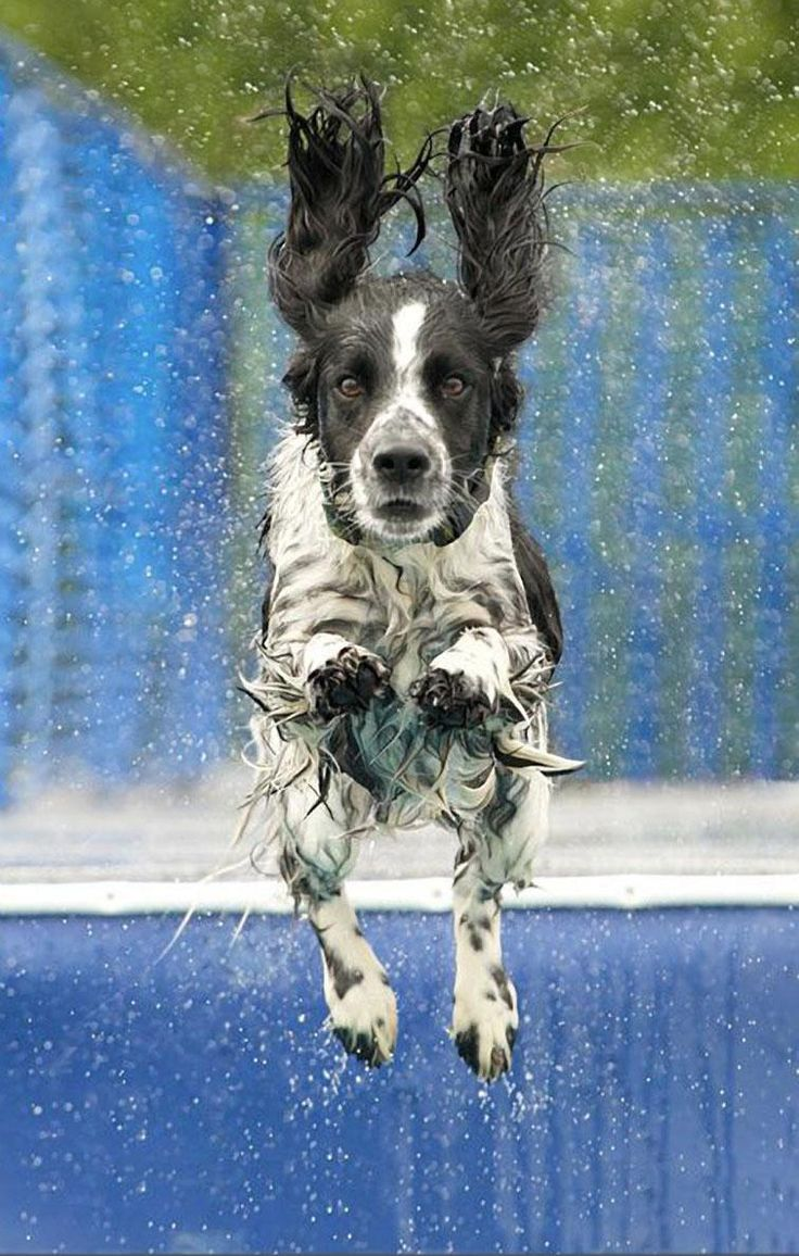 Springer Spaniel...aww this is what my Bocephus's daddy is. No wonder she loves water!