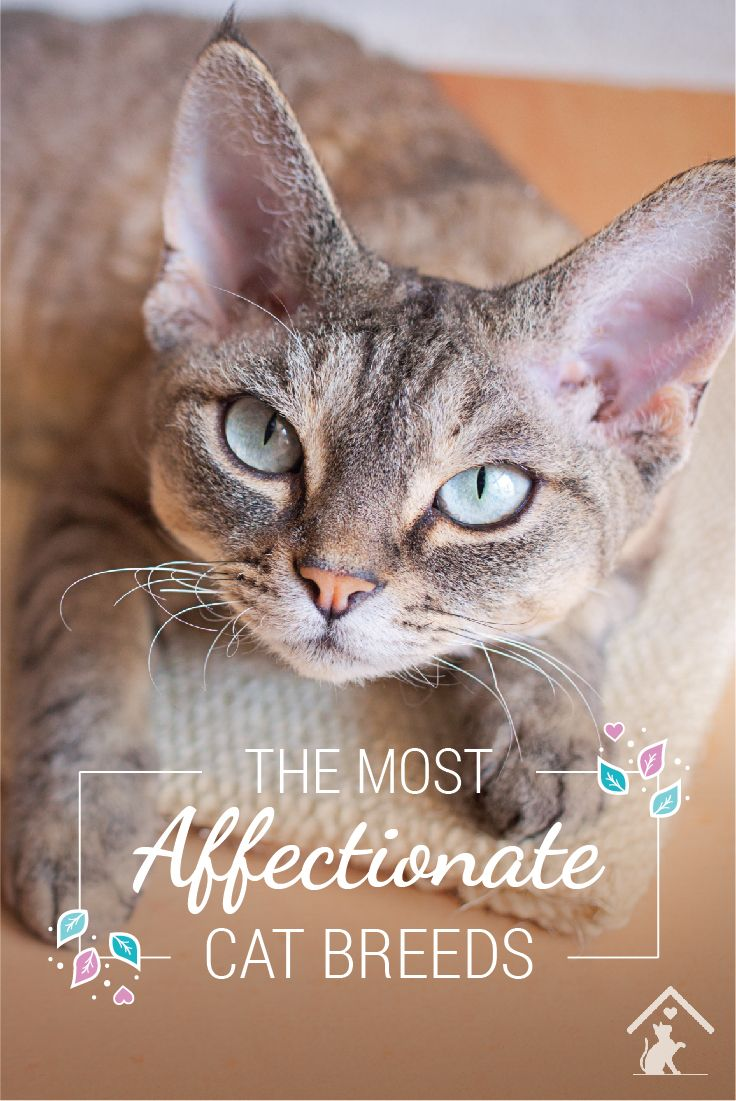 Devon Rex cats are just one of the most affectionate cat breeds! Click the pin to see if your cat is a smooch monster. #petcat #cutecat