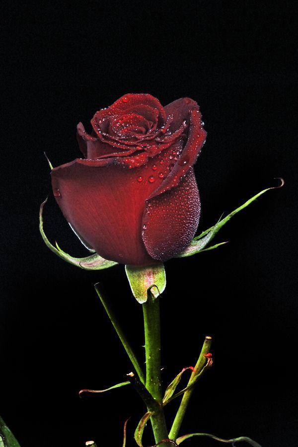 Heart tone Rose by Cristobal Garciaferro Rubio, via 500px