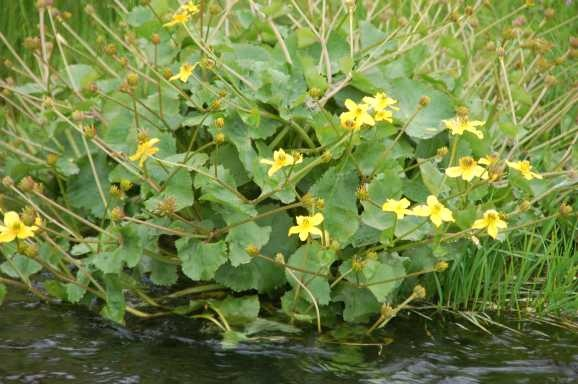 Vijverplanten - oever - dotterbloem