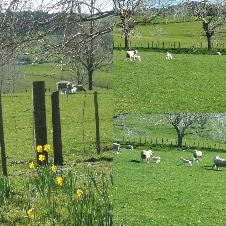 #Spring! #daffodils and #lambs. #newzealand #CountryLifeNewZealand