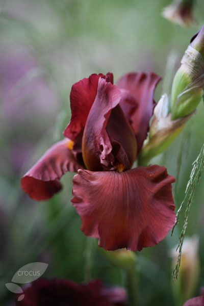 An unusual new introduction with rich brown, fragrant blooms - Iris 'Dutch Chocolate', used in the Daily Telegraph garden by Christopher Bradley-Hole