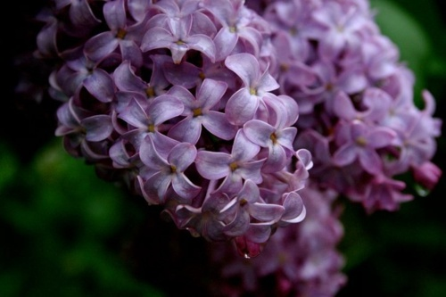 lilacs: Future Houses, Wedd Flowers, Favorite Flowers, Awesome Pictures, Smell Memories, Lilacs Th Scented, Pretty Things, Lilacs So Pretty, Lilacs Yaaaaaard