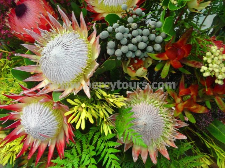 Cape Floral Kingdom has 1000's of unique plants to discover in Hermanus / Cape Town - http://www.percytours.com/fynbos-plants-cape-floral-kingdom.html