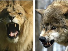 What animal are you most like when you get mad? I am 50% Lion and 50% Wolf. Sounds about right!