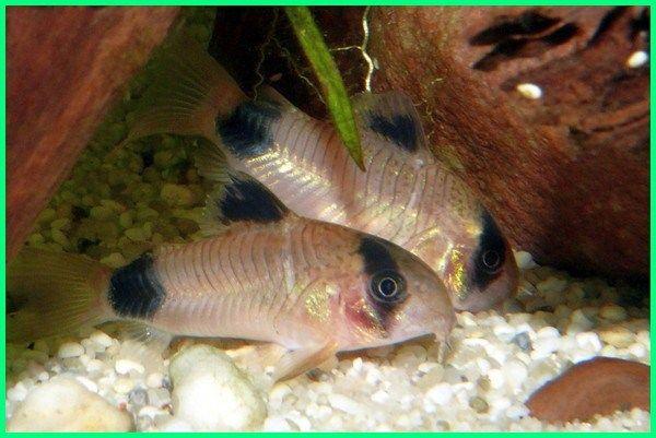 20 Rekomendasi Ikan Hias Kecil Yang Cantik Ikan Pinterest