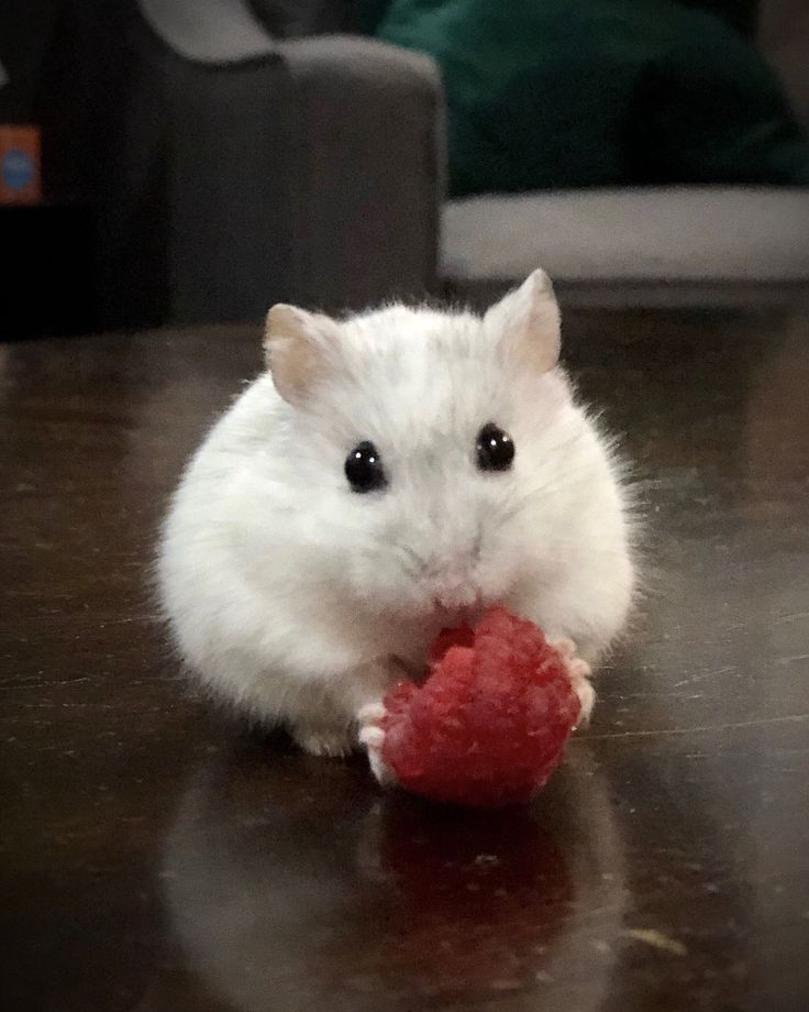 Meet Quartz, a white Djungarian dwarf hamster! Ain't she the cutest? Instagram: @quartzthehamster