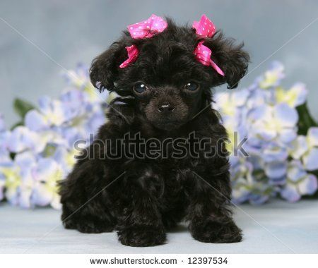 Top Puppies Bow Adorable Dog - 2ed62de0a87bbca672f782c6d12c9151--toy-poodle-puppies-toy-poodles  Snapshot_166640  .jpg