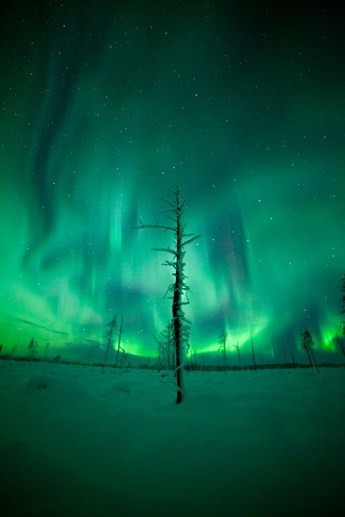 Lonely Tree, Aurora Borealis in the Lapland wilderness by the aurora zone