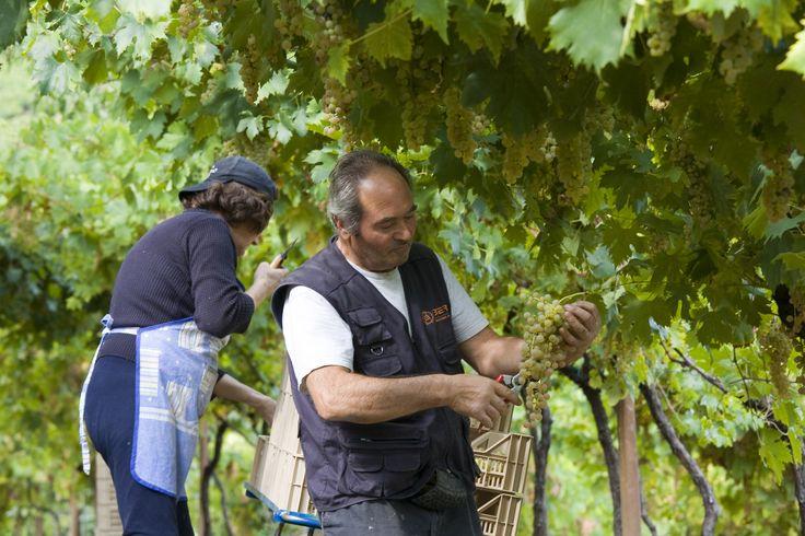 Aldo and Bianca Tessari selecting the grapes for the Recioto di Soave wine production