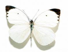 witte vlinder - Google zoeken