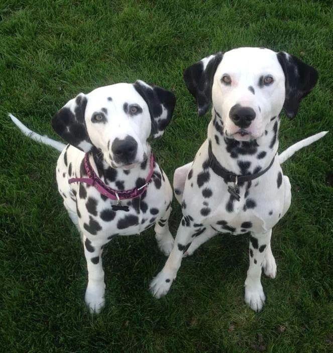 Dalmatians!!