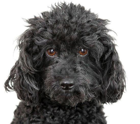 poodles | Animals Zoo Park: Toy Poodle Dog Pictures, Poodle Dog Pics