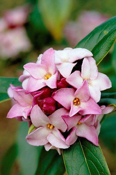 Winter-flowering plants: Daphne bholua 'Jacqueline Postill'