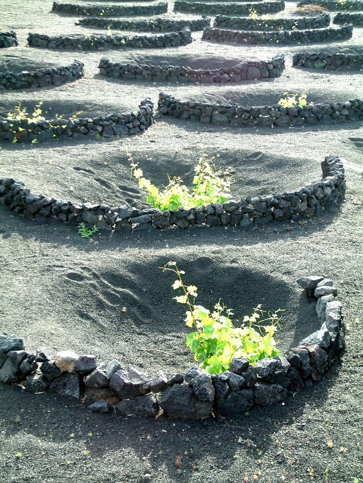 This is a vineyard on Lanzarote!