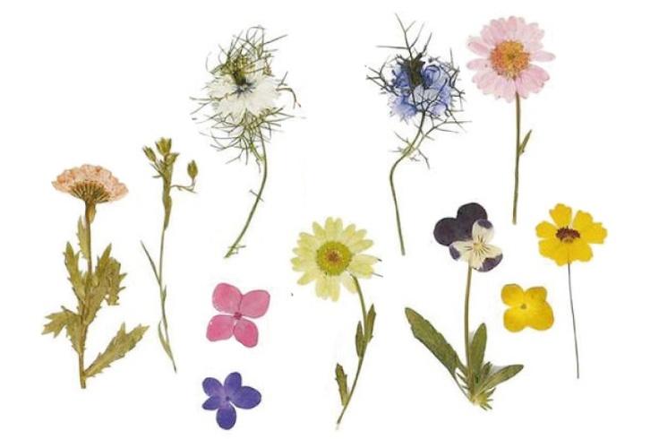 Set d`environ 240 fleurs pressées et séchées